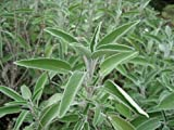 Sage (Salvia Officinalis) Great Garden Heirloom Herb Bulk 1,000 Seeds