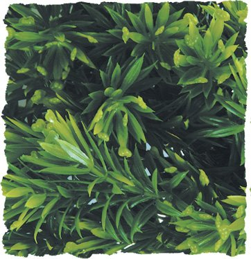 Product image of Zoo Med Naturalistic Bush Plant Borneo Star, Large