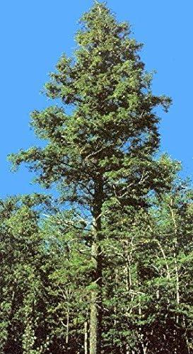 200 seeds trees seeds Canadian Hemlock