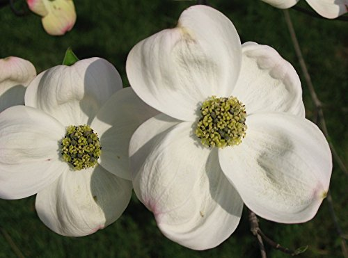 White Flowering Dogwood, Cornus Florida, Tree Seeds (Showy Flowers, Fall Color) (Best Flowers To Plant In Northern Virginia)