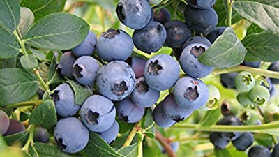 Hardy Blue Blueberry Bush - Edible Fruit Berry - Hardy Perenial - Qt Pot - 1 plant by Growers Solution