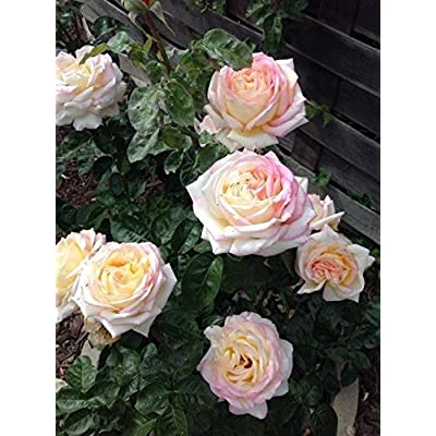 Peace Rose Bush Hybrid Tea Rose (1 Plant) Border,Cut Flowers,Ornamental, Outdoor: Grocery & Gourmet Food