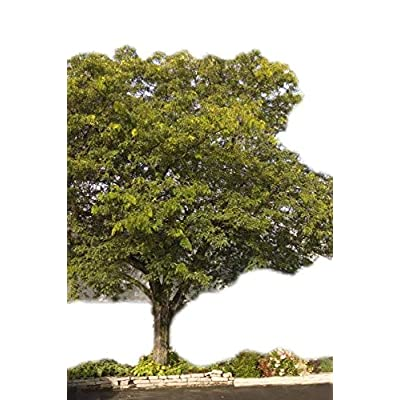 Honeylocust Sunburst > Gleditsia triacanthos 'Suncole' >Landscape Ready 5 Gallon Container : Garden & Outdoor