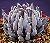 Live Succulent Plant Mini Succulents (Echeveria unguiculata)