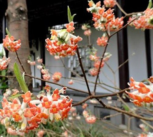 Edgeworthia Akebono Red Chinese Paper Bush - Live Plant - Starter Plug (LG)