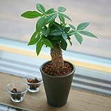 観葉植物 パキラ 鉢植え 発財樹 インテリア グリーン 4号 陶器