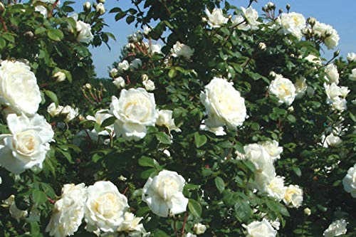 Exoticflora Creepers And Climbers Rosa Crimison Glory Climber White Healthy Live Plant With 6 Inches Fibre Pot (Real Flowering Creeper And Climber For Garden And Home)