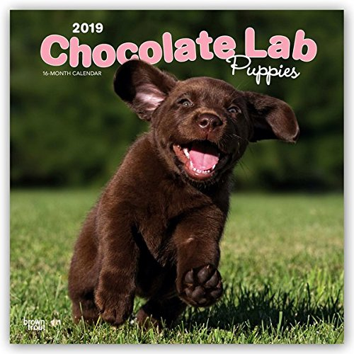 Chocolate Labrador Retriever Puppies 2019 12 x 12 Inch Monthly Square Wall Calendar, Animals Dog Breeds Retriever Puppies