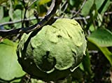 Nianyan 20 Pcs Custard Apple Fruit Buddha's Head Fruit Rare Giant Cherimoya Seeds Sugar Apple, SweetSop, Annona Tree Seeds