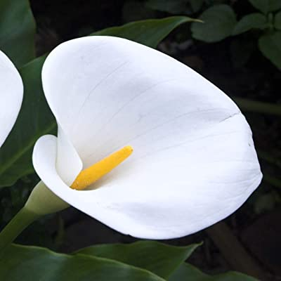Calla Lily (Aethiopica Large White - 1 Bulb) : Garden & Outdoor