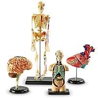 Anatomy Models Bundle Set, Brain, Body, Heart, Skeleton, Classroom Demonstration Tools, Teacher Accessories, Grades 3+, Ages 5+