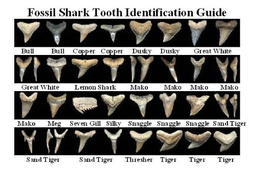 Shark Teeth Prehistoric (Dig for Prehistoric Fossil Shark Teeth - 5 Fossilized Shark Teeth Guaranteed in Every Pound Bag (Eocene Period - 58-62 Million Years Old))