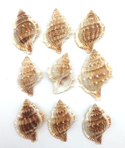 PEPPERLONELY 10 PC Bursa Rana Sea Shells for Hermit Crab Shells, 2 Inch ~ 3 Inch