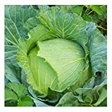 David's Garden Seeds Cabbage Early Jersey Wakefield SL6632 (Green) 200 Non-GMO, Heirloom Seeds