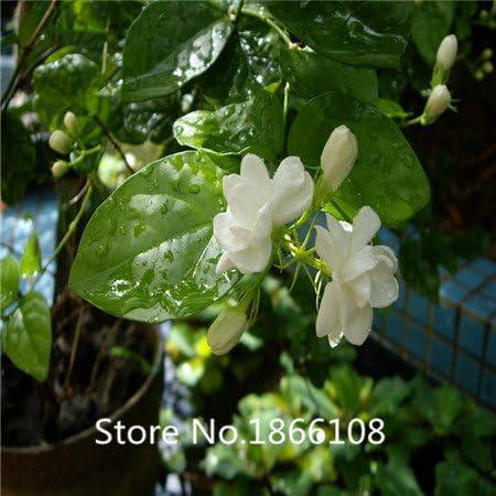 50 Seeds Gardenia Jasminoides Fragrant Cape Jasmine Shrub