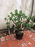 Large Jade Plant, 1 inch Thick, Rooted, at Least 12 inches Tall