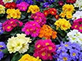 50 Mixed Colors English Primrose Primula Flower Seeds