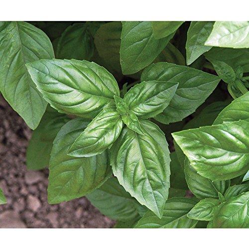 David's Garden Seeds Herb Basil Genovese D911A (Green) 500 Organic Seeds
