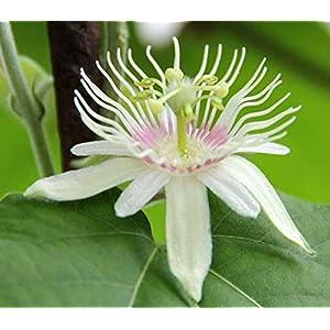 Passiflora rubra Linnaeus | dutchmans Laudanum | 20_Seeds 27