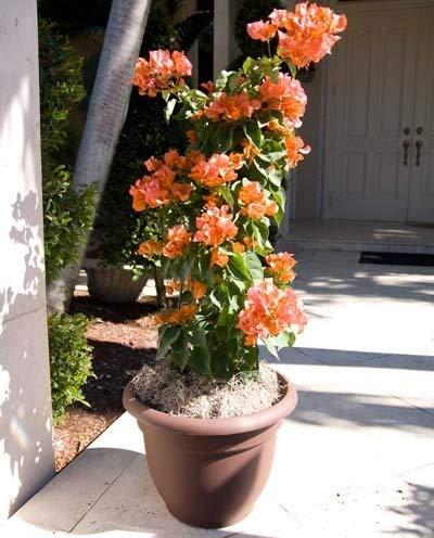Sundown Orange Bougainvillea Vine - 2 Gallon by Brighter Blooms (Image #1)