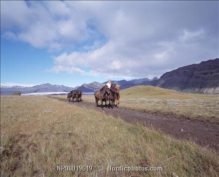 Two people riding Icelandic horses and towing a few others along a gravel road 30x40 photo reprint by PickYourImage