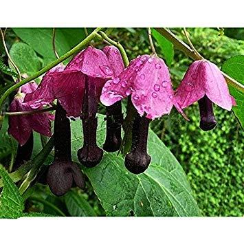 Chrysantheme Samen Pflanzen Blumensamen Mischung Puderquaste Aster Lady Chinesische Chinensis 200 Hausgarten Fash Fã¼r Callistephus OpqUwXx