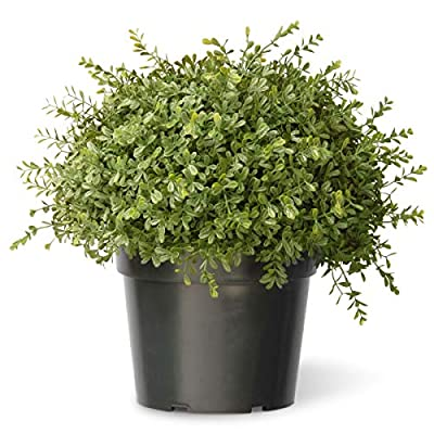 National Tree 15 Inch Mini Tea Leaf Ball Plant in Growers Pot (LTLM4-700-15-1): Home & Kitchen
