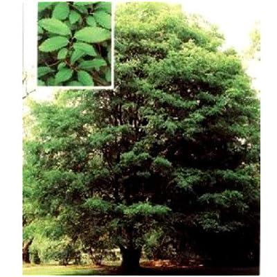 Seeds Chinese Elm Tree Ulmus Parvifolia Get 50 Seeds #LC01YN : Garden & Outdoor