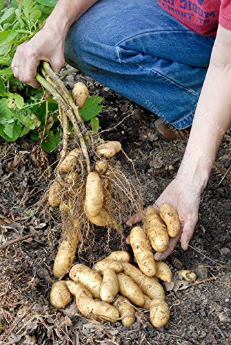 Portal Cool Russian Fingerling Organic Potato Seed Banana Seeds Vegetables 100Pcs/Bag