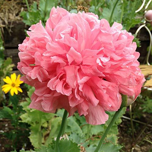 Bombast Rose Peony Poppy Seeds 100+