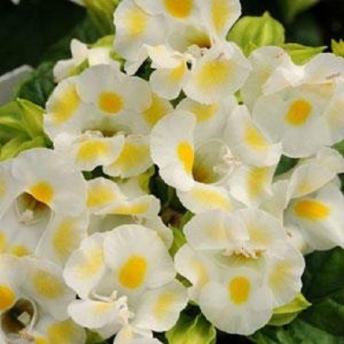 pakuda 20+ Lemon Drop TORENIA Wishbone Flower Seeds/Long Lasting Annual