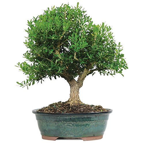 Bonsai Tree Harland Boxwood Outdoor Live Plant Leaves Flowers 8 Years (Boxwood Bonsai Tree)