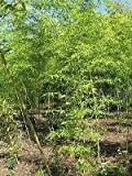Phyllostachys Aurea, Golden Bamboo, live bamboo plant, hardy to 0f, grows to 30'