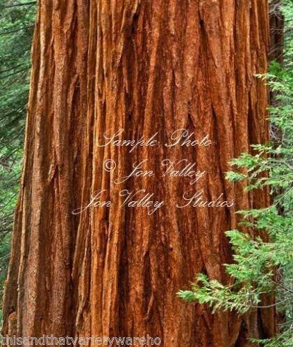 10 graines Sequoiadendron giganteum g/éant Sequoia arbre Graines Arbre standard ou Bonsai robuste