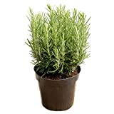 AMPLEX Tuscan Blue Rosemary Live Plant, 1 Gallon, Cooking Spice