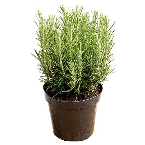 AMPLEX Tuscan Blue Rosemary Live Plant, 1 Gallon, Cooking Spice by AMPLEX