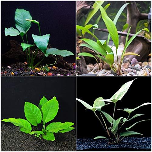 Anubias Bundle - 4 Species (Barteri, Wrinkle Leave, Cogensis, Hastifolia) Easy Low Light Aquarium Plants - Snail Free ()