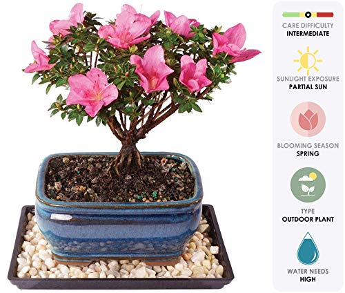 (Brussel's Live Azalea Kazan Outdoor Bonsai Tree - 5 Years Old; 6