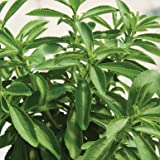 David's Garden Seeds Herb Stevia SL7733 (Green) 25 Organic Seeds