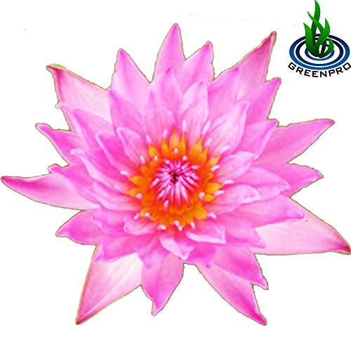 (Nymphaea Light Pink) Tropical Water Lily Tuber Live Aquatic Plants for Freshwater Fish Pets Pond Balcony Decorations by Greenpro