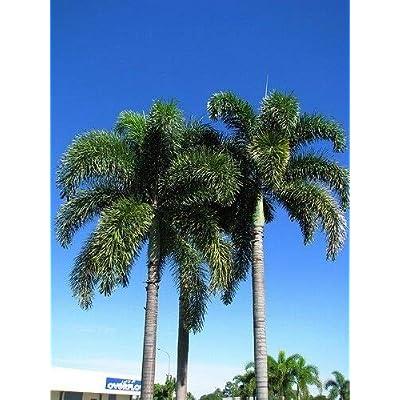 AchmadAnam - Live Plant - Foxtail Palm Tree 15''-20'' : Garden & Outdoor