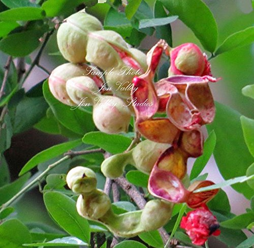 15 Pithecellobium dulce 15 Seeds Manila Tamarind Madras Thorn Aromatic Flowers Butterfly Host -Hummingbirds Love Aztec name cuauhmôchit