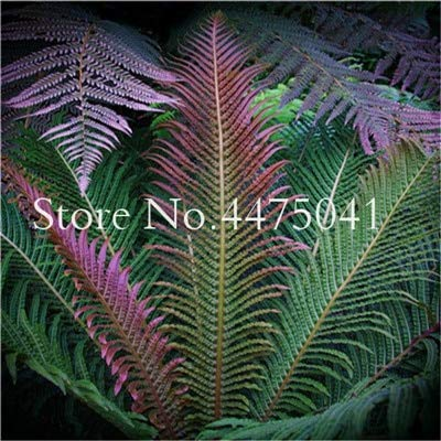 Amazon.com : 100 Pcs Garden Fern Bonsai Plants Rare Creeper ... on rainbow eucalyptus plant, rainbow hibiscus plant, rainbow rose plant, rainbow iris plant, rainbow cactus plant, rainbow bleeding heart plant, rainbow bamboo plant, rainbow fern care, rainbow orchid plant, rainbow jasmine plant, rainbow leaf plant, rainbow coleus plant, rainbow flower plant, red spiky plant, indian tobacco plant, rainbow moss, rainbow chrysanthemum plant, rainbow strawberry plant, rainbow hyacinth plant, rainbow evergreen plant,
