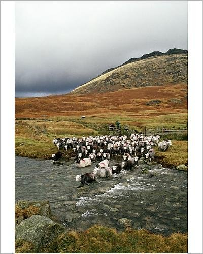 Photographic Print of Herdwick Sheep and Shepherd