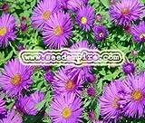 ASTER NEW ENGLAND Aster Novae-Angliae --- 100 Flower Seeds