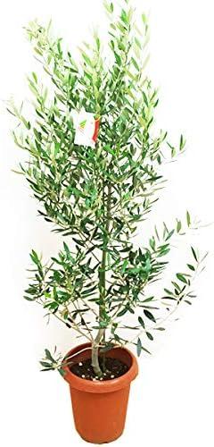 Amazon|オリーブの木 観葉植物 庭木 鉢植え ガーデニング インテリア ...