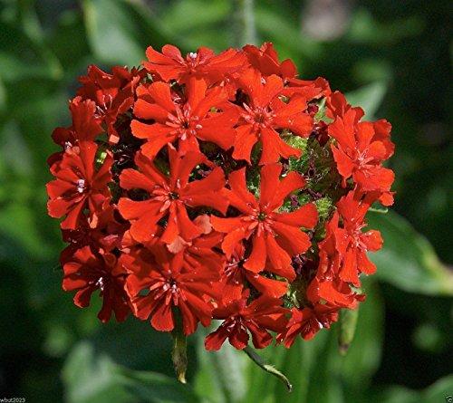 Lychnis chalcedonica Maltese Cross or Jerusalem Cross-2000 Seeds,Flowers Seeds !