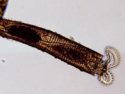 Microscopio de ense/ñanza LCD 8.9cm 50x-500x 3.5 2000x digital Bresser 5 megapixel