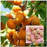 5 seeds bitter almond prunus dulcis three seed fresh