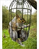 Photographic Print of Grey Squirrel trapped inside a squirrel proof bird feeder